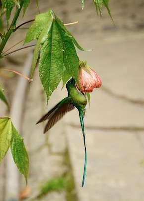 Colibri, Salento ©Eline Lonchay